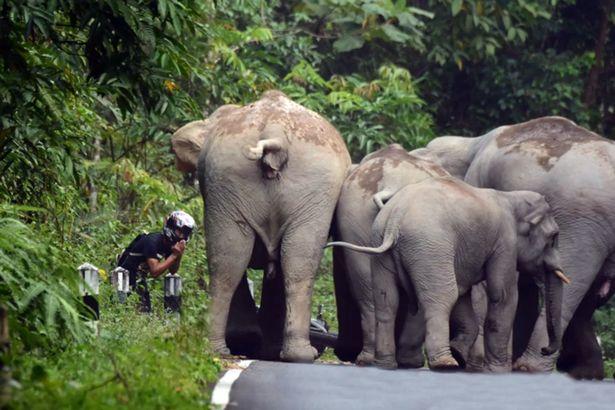 Ngeri, Pengendara ini Tiba-Tiba Diserang Oleh Kelompok Gajah